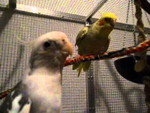 Coco und Feli Meine Nymphensittiche by Mypapageien
