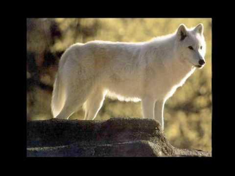 lynx vs wolf fight