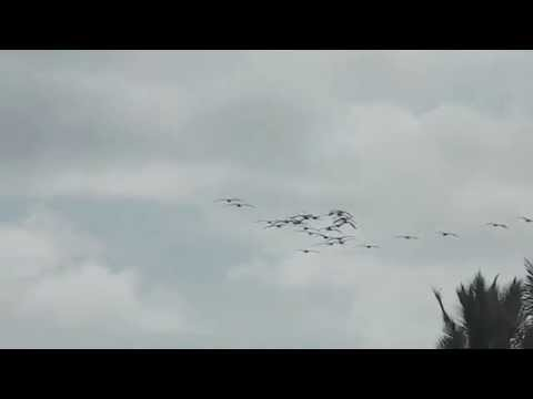 Flock of PELICANS flying in a V formation! (Playa Hermosa, Costa Rica)