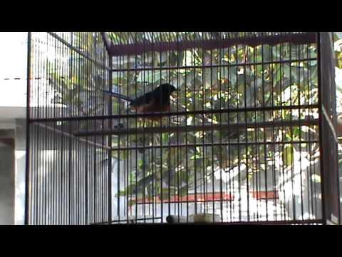 Tips Melatih Burung - Murai Batu Medan Berkicau