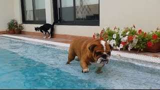 Bulldog tomando un baño