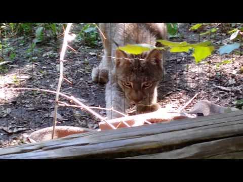 Canadian Lynx steals a jacket