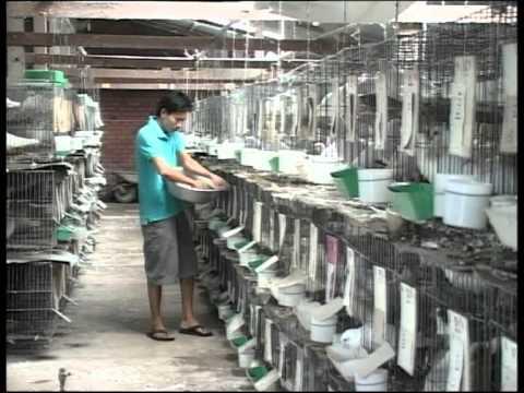 Video hướng dẫn nuôi bồ câu công nghiệp