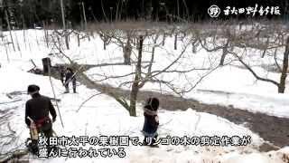 動画:好天の下、リンゴの木の剪定に汗
