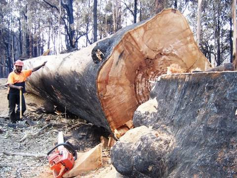 Bush Fires Victoria Australia Big Tree and Tree Felling take down by a 3120XP husky chainsaw.