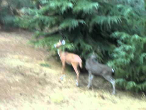 Deer porn