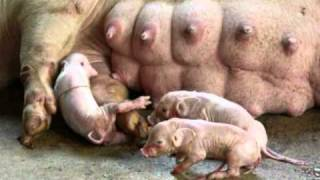 PIG GIVING BIRTH Suspense! Babies Having A Hard Time