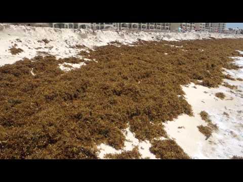 Sargassum seaweed, Cancun July 2015 - Video 1