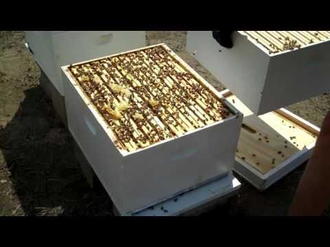Honey Bees, Beekeepers' Enemy the Hive Beetle