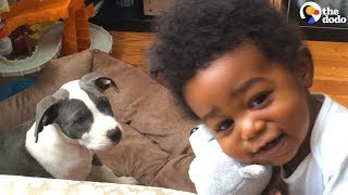 Pit Bull Puppy And Boy Grow Up Together   The Dodo