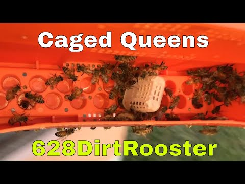 Picking Out Queens For A Road Trip - queen honey bees road tripping across America