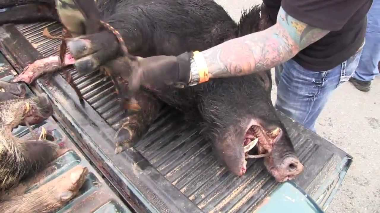Texas hog hunting 100 dead hogs and great texas music for Oklahoma fishing license age