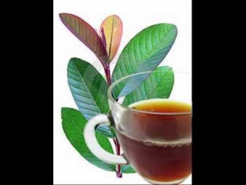 Guava Leaf Tea Health Benefits