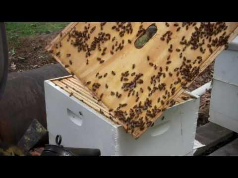 Checking Bee Hives for a Queen  Going to Re Queen