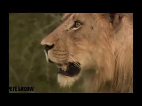 León contra el elefante contra el búfalo contra el cocodrilo - el elefante ahorra al bebé de leones