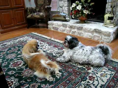 shih tzu and pekingese playing