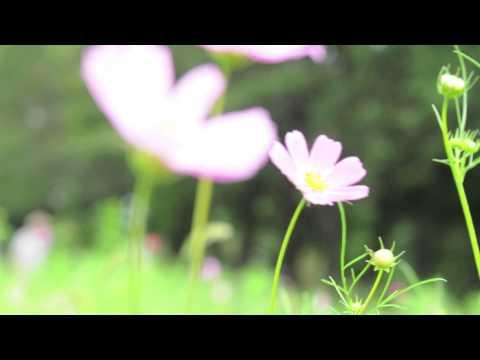 秋桜ファンタジー[瓦斯灯の中の魚]  song by AJYSYTZ