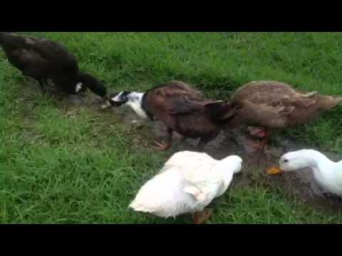 Hoover Ducks