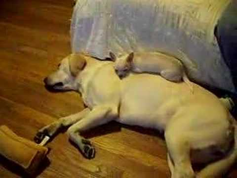 Yellow Lab And Chihuahua Funny Dogs Youtube