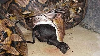 The Biggest Snake In The World! (BIGGEST SNAKE IN THE WORLD!)