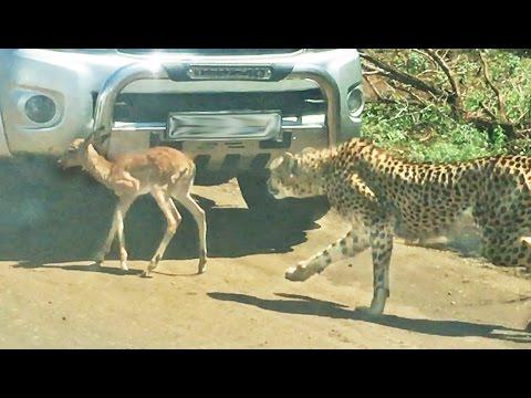 Baby cheetahs in the wild
