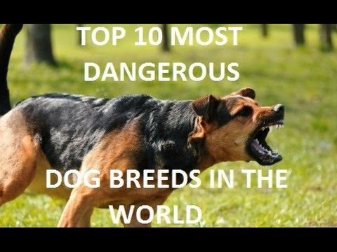 TOP 10 Most Dangerous Dog Breeds In The World - HD - YouTube