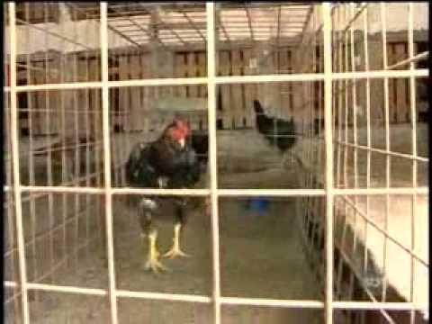 Jornal em Tempo 04 de Junho - PC fecha uma rinha de galo no Santa Etelvina