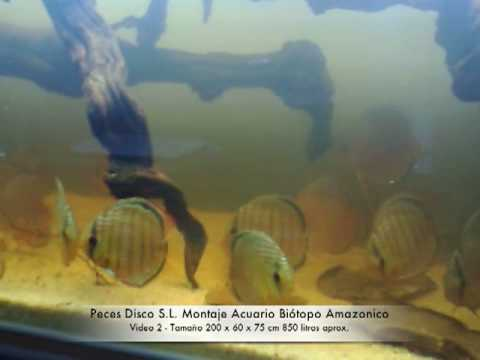 Acuario Biótopo Amazonico de peces disco