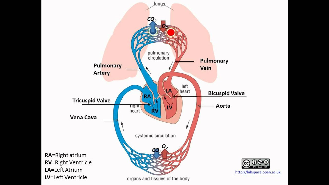 pulmonary and systemic circulation