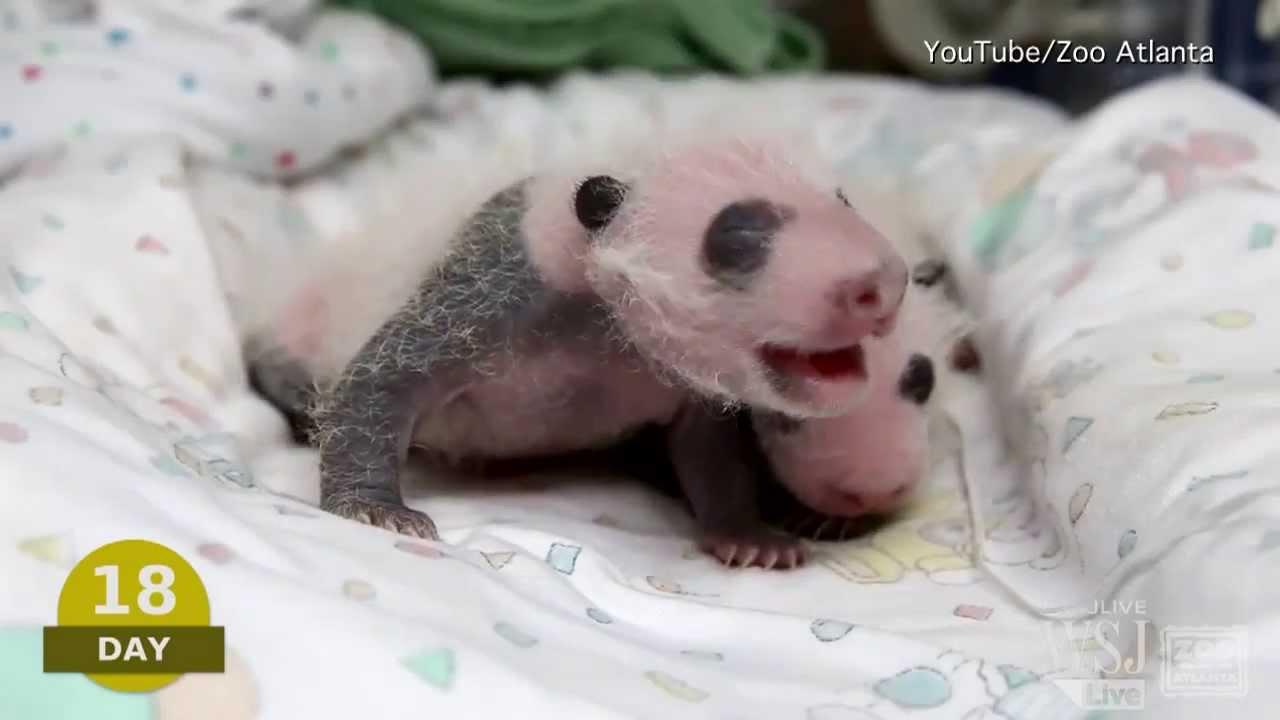 giant panda baby video