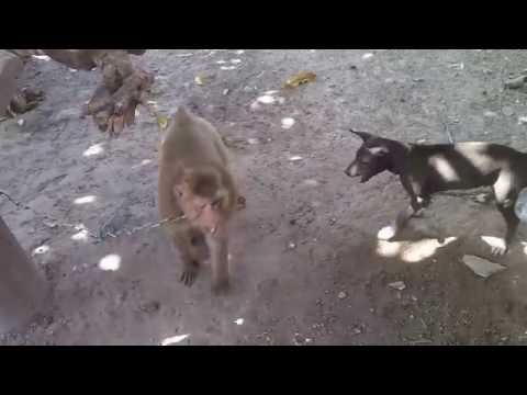 Monkey vs Dog