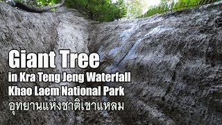Giant Tree in Kra Teng Jeng Waterfall in Kanchanaburi