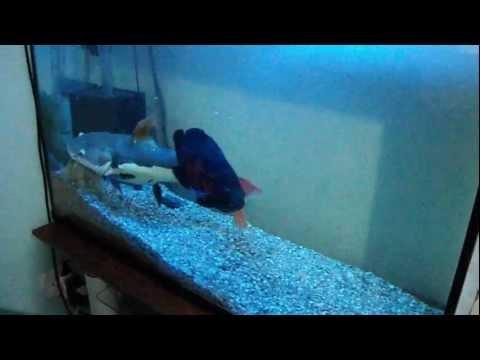 aquario Erik dini Pirarara comendo