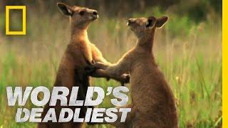The quarrel of a kangaroo3