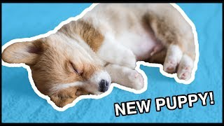 I Got A Corgi Puppy! | Vlog