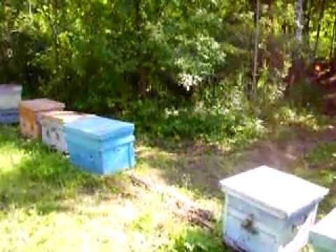 Карника на липе 2011г.养蜂业