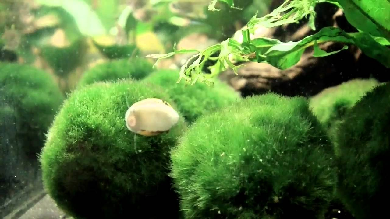 Cleaning Crew - Horned Nerite Snail - YouTube