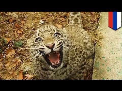 "Vladimir Putin's endangered leopard ""friend"" attacks Olympic reporters in Sochi"