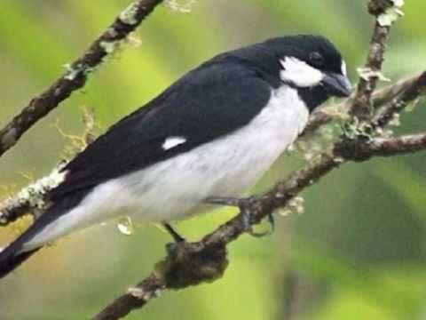 Aves do Brasil - Ouça o canto do Bigodinho!