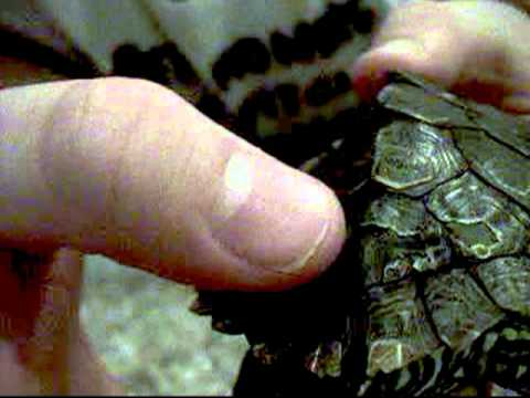 Our Turtle's Shell Rot Symptoms - YouTube