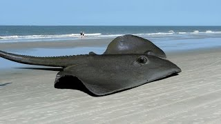 HUGE STINGRAY!