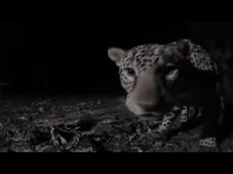 First wild sighting - Stalking the Jaguar - BBC Animals, The BBC wildlife team are surprised when their trick to lure a wild jaguar with domestic cat nip works. Brilliant nocturnal images of the beautiful wild cats from animal show 'Stalking the Jaguar'.