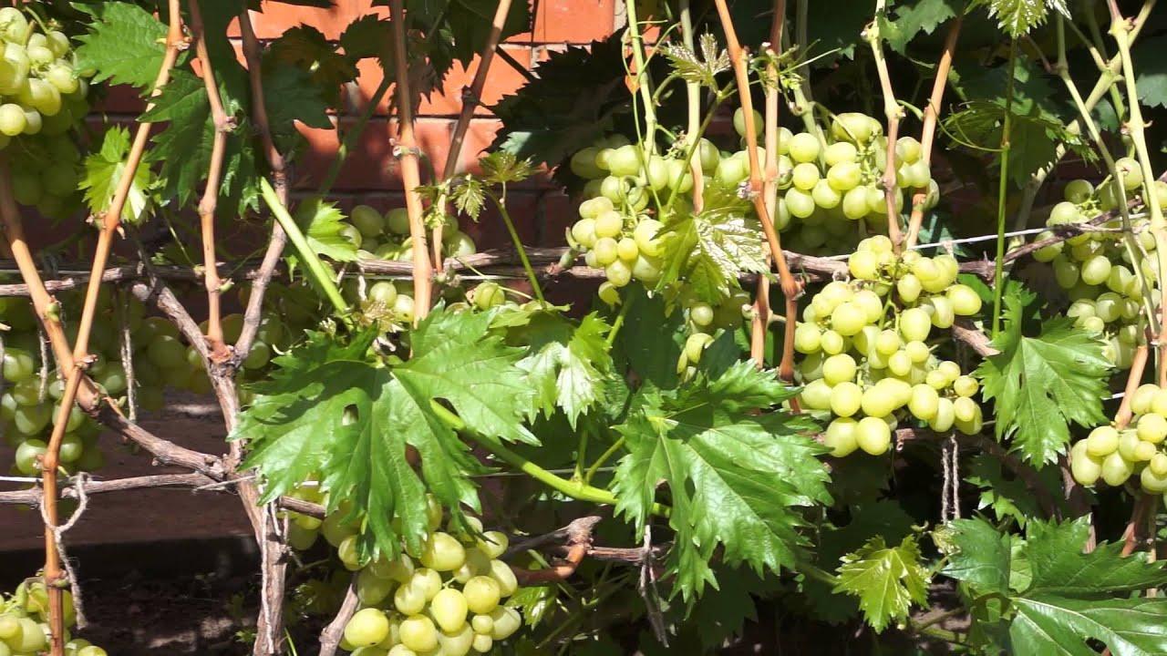 Виноград выращивание в средней полосе россии