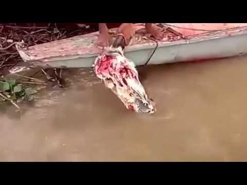 """Đàn cá """"ăn thịt người"""" rỉa sạch đầu bò ở Amazon"""