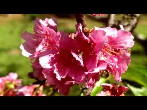 Florada das cerejeiras é destaque em Garça