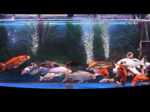 Diy indoor koi tank biofilter plywood 400 gallon for Indoor koi fish tank