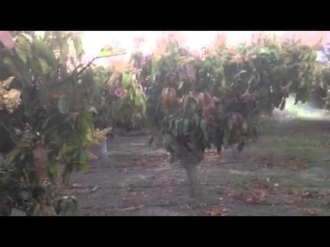 Fumigando mangos com fumigadora de motor maruyama