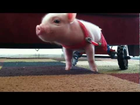 Pig in Wheelchair - Chris P Bacon