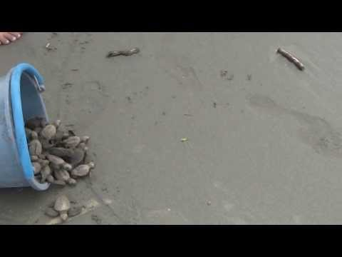 Olive Ridley Turtles making their way to the Ocean - Playa Tortuga, Costa Rica