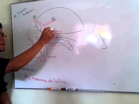 Ramas Terminales Carótida Externa - Grupo Atlas